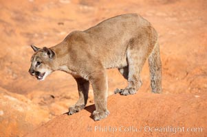 Mountain lion., Puma concolor, natural history stock photograph, photo id 12306