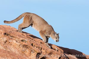 Mountain lion., Puma concolor, natural history stock photograph, photo id 12315