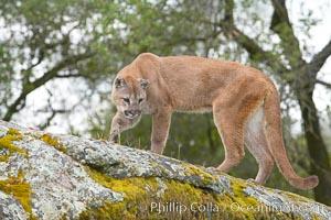 Mountain lion, Sierra Nevada foothills, Mariposa, California, Puma concolor