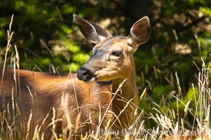 Black-tail deer (mule deer), female, summer, Odocoileus hemionus, Lake Crescent, Olympic National Park, Washington
