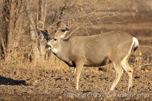 Mule deer, male with antlers, Odocoileus hemionus, Bosque del Apache National Wildlife Refuge, Socorro, New Mexico