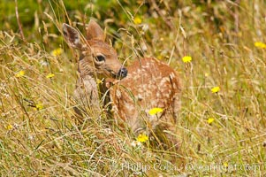 Black-tail deer fawn (mule deer), summer, Odocoileus hemionus, Lake Crescent, Olympic National Park, Washington