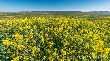 Mustard and other Wildflowers bloom across Carrizo Plains National Monument, during the 2017 Superbloom, Carrizo Plain National Monument, California
