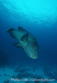 Napolean wrasse, Cheilinus undulatus, Egyptian Red Sea
