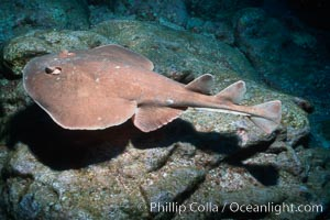 Lesser electric ray. Socorro Island (Islas Revillagigedos), Baja California, Mexico, Narcine entemedor, natural history stock photograph, photo id 03286