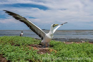 Nazca Booby, Clipperton Island. Clipperton Island, France, natural history stock photograph, photo id 33093