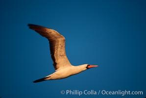 Nazca booby in flight, sunset, Punta Suarez, Sula granti, Hood Island