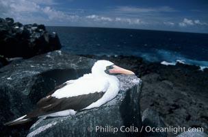 Nazca booby, Punta Suarez, Sula granti, Hood Island