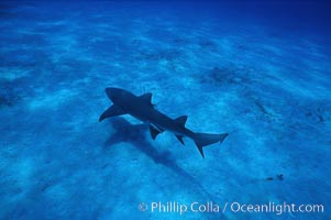 Lemon shark. Bahamas, Negaprion brevirostris, natural history stock photograph, photo id 05006