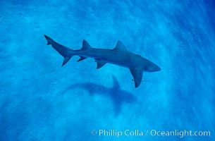 Lemon shark. Bahamas, Negaprion brevirostris, natural history stock photograph, photo id 05007