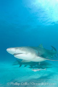 Lemon shark. Bahamas, Negaprion brevirostris, natural history stock photograph, photo id 10758