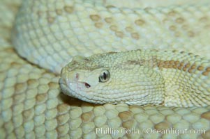 Neotropical rattlesnake., Crotalus durissus, natural history stock photograph, photo id 12565