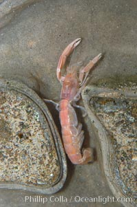 Ghost shrimp, seen in a cross section view of its habitat, an underwater hole, Neotrypaea californiensis