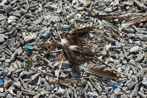 Nest composed of feathers and plastic debris, Clipperton Island