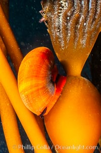 Norris topsnail (aka, kelp snail), clings to a kelp pneumatocyst (bubble) at the base of a stipe/blade, midway in the water column. San Nicholas Island, California, USA, Norrisia norrisi, Macrocystis pyrifera, natural history stock photograph, photo id 10214