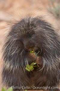 North American porcupine., Erethizon dorsatum, natural history stock photograph, photo id 12146