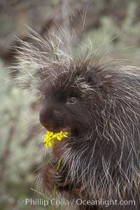 North American porcupine., Erethizon dorsatum, natural history stock photograph, photo id 12147