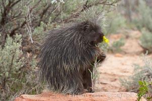 North American porcupine., Erethizon dorsatum, natural history stock photograph, photo id 12148