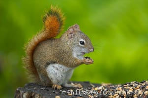 North American red squirrel eats seeds in the shade of a Minnesota birch forest.  Red squirrels are found in coniferous, deciduous and mixed forested habitats from Alaska, across Canada, throughout the Northeast and south to the Appalachian states, as well as in the Rocky Mountains, Tamiasciurus hudsonicus, Orr