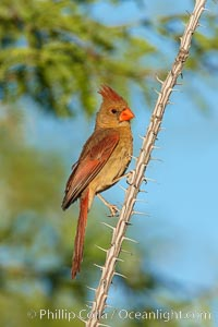 Northern cardinal, female, Cardinalis cardinalis, Amado, Arizona