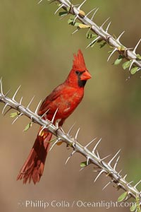 Northern cardinal, male. Amado, Arizona, USA, Cardinalis cardinalis, natural history stock photograph, photo id 22891