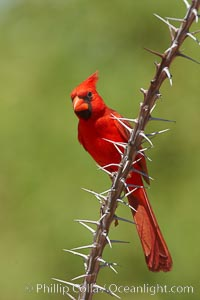 Northern cardinal, male, Cardinalis cardinalis, Amado, Arizona