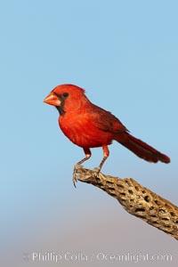 Northern cardinal, male, Cardinalis cardinalis, Amado, Arizona
