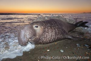 Northern elephant seal., Mirounga angustirostris, natural history stock photograph, photo id 26690