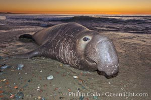 Northern elephant seal., Mirounga angustirostris, natural history stock photograph, photo id 26697