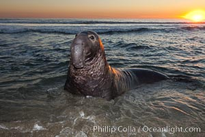 Northern elephant seal., Mirounga angustirostris, natural history stock photograph, photo id 26698