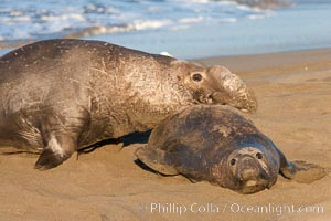 Northern elephant seal, Mirounga angustirostris