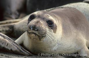 Juvenile northern elephant seal, Mirounga angustirostris, Piedras Blancas, San Simeon, California
