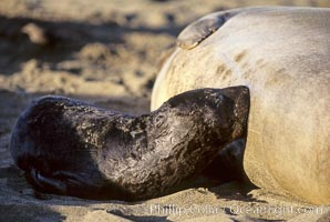 Baby northern elephant seal nurses on its mother, Mirounga angustirostris, Piedras Blancas, San Simeon, California