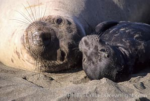 Baby northern elephant seal near its mother, Mirounga angustirostris, Piedras Blancas, San Simeon, California