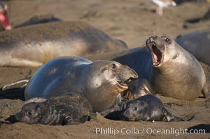 Female elephant seals fight for space on the beach for themselves and their pups, and fend off other females who may try to steal their pups.  The fights among females are less intense than those among bulls but are no less important in determining the social hierarchy of the rookery.  Sandy beach rookery, winter, Central California, Mirounga angustirostris, Piedras Blancas, San Simeon