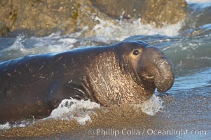 Elephant seal adult male emerges from the ocean, hauling himself up on the sandy beach to rest at the rookery.  Central California, Mirounga angustirostris, Piedras Blancas, San Simeon