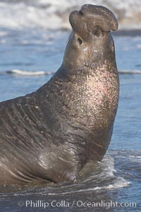A bull elephant seal rears up on his foreflippers, surverying his beach territory.  He displays scarring on his chest and proboscis from fighting other males for territory and rights to a harem of females.  Sandy beach rookery, winter, Central California, Mirounga angustirostris, Piedras Blancas, San Simeon