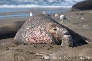 An adult male elephant seal rests on a sandy beach.  He shows the enormous proboscis characteristic of male elephant seals, as well as considerable scarring on his neck from fighting with other males for territory.  Central California, Mirounga angustirostris, Piedras Blancas, San Simeon