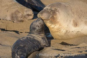 Mother elephant seal and her pup.  The pup will nurse for 27 days, when the mother stops lactating and returns to the sea.  The pup will stay on the beach 12 more weeks until it becomes hungry and begins to forage for food, Mirounga angustirostris, Piedras Blancas, San Simeon, California