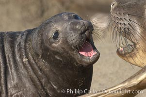 Elephant seal mother and pup vocalize to one another constantly, likely to reassure the pup and confirm the maternal identity on a crowded beach.  Central California. Piedras Blancas, San Simeon, California, USA, Mirounga angustirostris, natural history stock photograph, photo id 15421