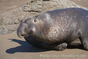 An adult male elephant seal, rushing to attack another male intruding on his territory, tramples a tiny pup.  Pups experience a high mortality rate, including injury, separation from mother, being washed into the ocean and abandonment, Mirounga angustirostris, Piedras Blancas, San Simeon, California