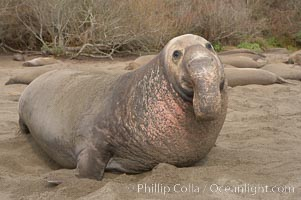 This bull elephant seal, an old adult male, shows scarring on his chest and proboscis from many winters fighting other males for territory and rights to a harem of females.  Sandy beach rookery, winter, Central California, Mirounga angustirostris, Piedras Blancas, San Simeon