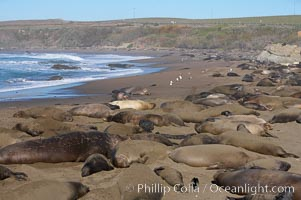 Elephant seals crowd a sand beach at the Piedras Blancas rookery near San Simeon, Mirounga angustirostris