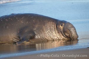 An adult male elephant seal rests on a wet beach.  He displays the enormous proboscis characteristic of male elephant seals as well as considerable scarring on his neck from fighting with other males for territory.  Central California, Mirounga angustirostris, Piedras Blancas, San Simeon
