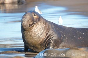 A bull elephant seal (adult male) surveys the beach.  The huge proboscis is characteristic of the species. Scarring from combat with other males.  Central California, Mirounga angustirostris, Piedras Blancas, San Simeon