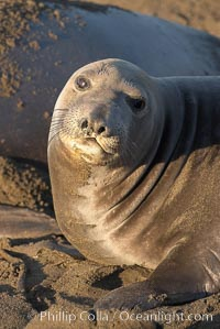 Female elephant seal, hauled out on the sandy beach rookery, will give birth to a pup then mate, and return to the ocean 27 days after giving birth.  Winter, Central California, Mirounga angustirostris, Piedras Blancas, San Simeon
