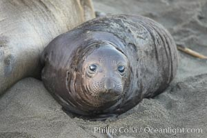 Elephant seal pup.  The pup will nurse for 27 days, when the mother stops lactating and returns to the sea.  The pup will stay on the beach 12 more weeks until it becomes hungry and begins to forage for food. Piedras Blancas, San Simeon, California, USA, Mirounga angustirostris, natural history stock photograph, photo id 15476