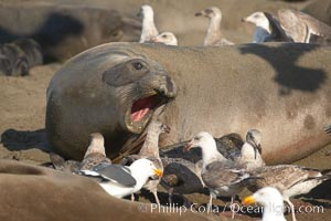 Having just given birth moments before, a mother elephant seal barks at seagulls that are feasting on the placenta and birth tissues.  The pup is unharmed; the interaction is a common one between elephant seals and gulls.  Winter, Central California, Mirounga angustirostris, Piedras Blancas, San Simeon