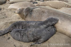 Two pups nurse on an elephant seal mother.  In spite of the fact that a female only has enough milk to successfully nurse a single pup to weaning, abandoned pups may try to nurse and the inexperienced mothers may not understand that both pups are doomed.  Winter, Central California, Mirounga angustirostris, Piedras Blancas, San Simeon