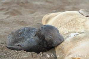 Elephant seal pup nurses.  The pup will nurse for 27 days, when the mother stops lactating and returns to the sea.  The pup will stay on the beach 12 more weeks until it becomes hungry and begins to forage for food, Mirounga angustirostris, Piedras Blancas, San Simeon, California